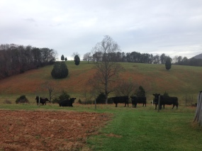 The Foutz Farm...stop looking at me, cow.